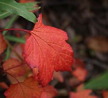 First Flame of Fall by Jackie Muncy