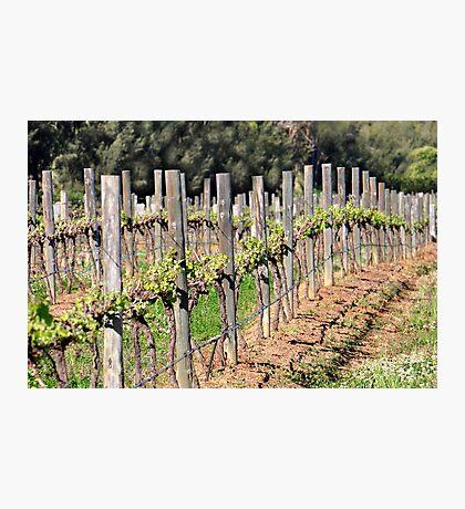 Vineyards - Pokolbin NSW Australia Photographic Print