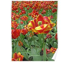 Yellow and Red Tulips photograph Poster