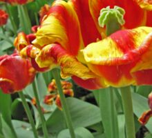 Yellow and Red Tulips photograph Sticker