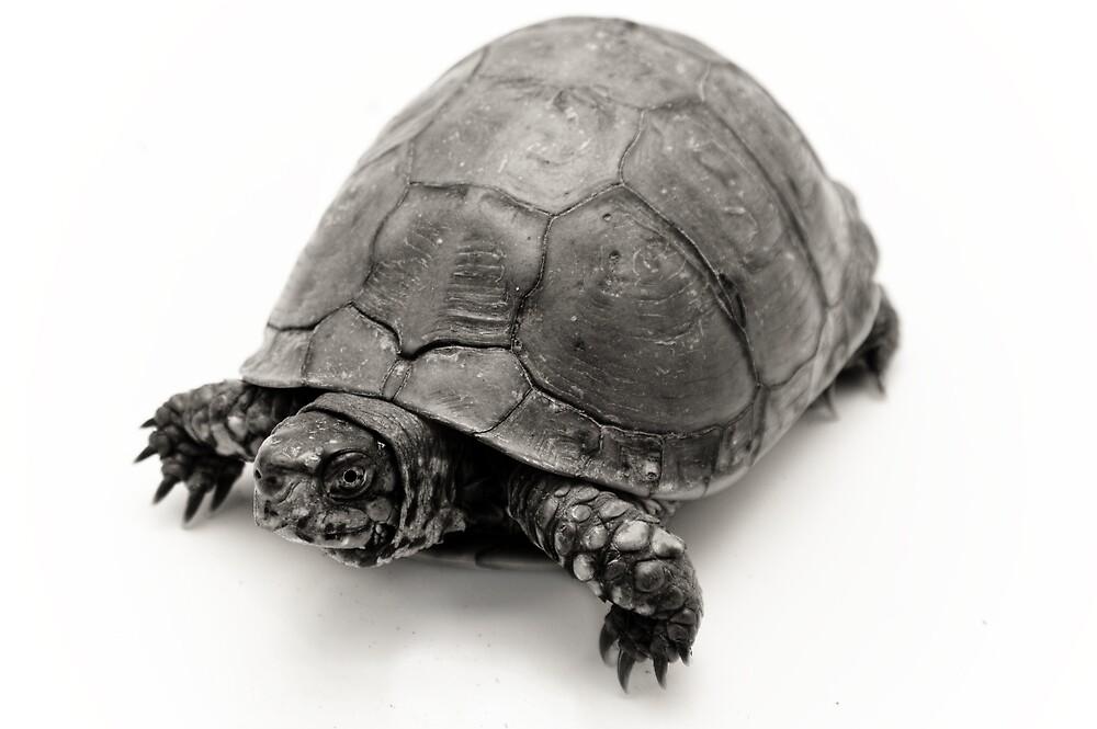 Box Turtle by Kristen Coleman