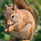 RED SQUIRREL by Raoul Madden