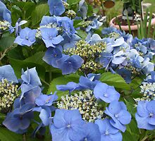Blue Lace Cap Hydrangea by patti haskins