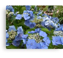 Blue Lace Cap Hydrangea Canvas Print