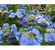 Blue Lace Cap Hydrangea Photographic Print