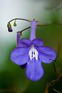 Nodding Violet by Renee Hubbard Fine Art Photography