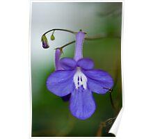 Nodding Violet Poster
