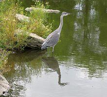 Grey Heron: fisher bird by schaduwvacht