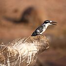Pied Kingfisher by Steve Bullock