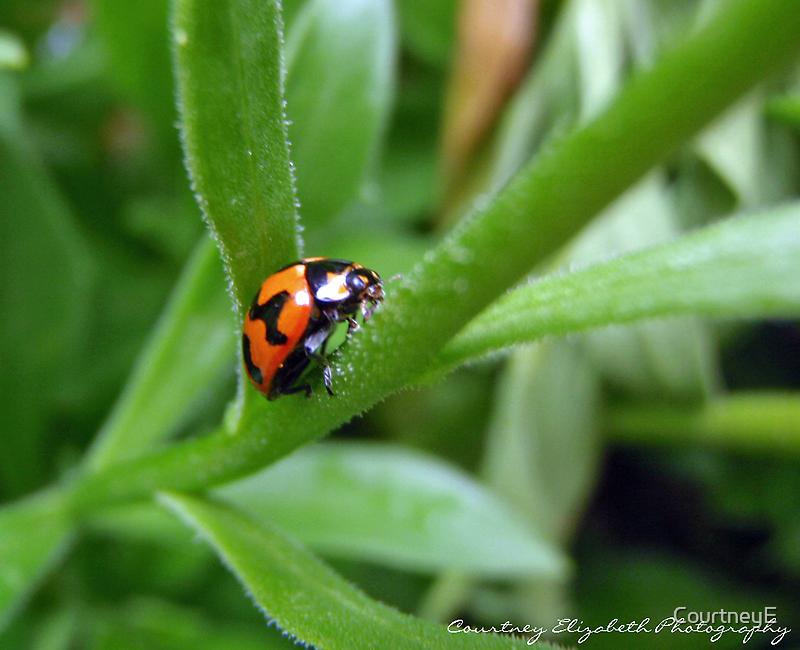 Lady Bug. by CourtneyE