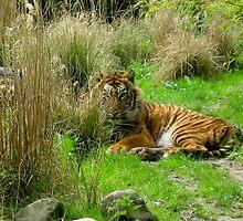 tiger @ ease by schaduwvacht