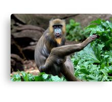 Mandrill at Melbourne Zoo Canvas Print