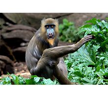Mandrill at Melbourne Zoo Photographic Print