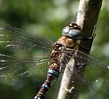 Migrant Hawker Closeup by Ollie17