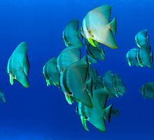Gotham City Batfish - Cocos (Keeling) Islands by Karen Willshaw