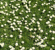 Lazy Daisies by joannehobbs