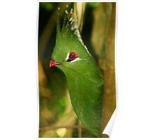 Bird - Knysna Turaco Poster