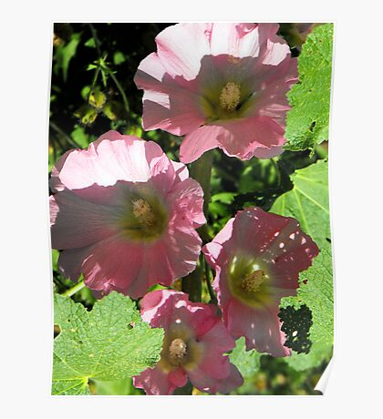 Pink Holly Hocks Poster