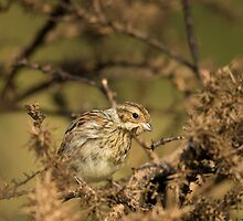 Reed Bunting - female by Jon Lees