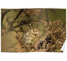 Reed Bunting - female Poster