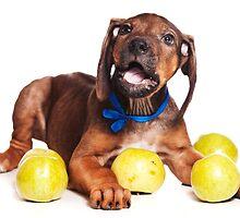 Funny red Ridgeback puppy by utekhina
