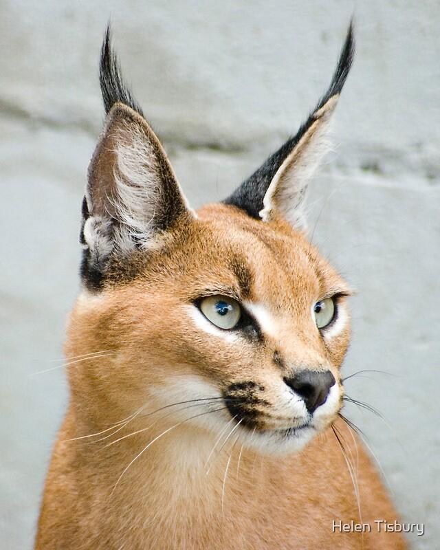 Caracal cat - photo#11