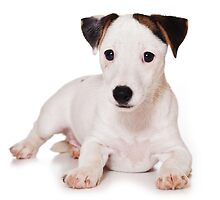 white Jack Russell Terrier puppy by utekhina