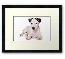 white Jack Russell Terrier puppy Framed Print