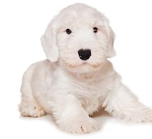 White Terrier puppy by utekhina