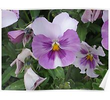 Lavander and White Pansy Poster