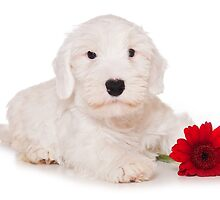 white terrier puppy and red flower by utekhina