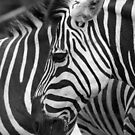 Black with White Stripes by tracyleephoto