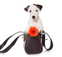 Jack Russell Terrier and a bag by utekhina