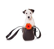 Jack Russell Terrier and a bag Photographic Print