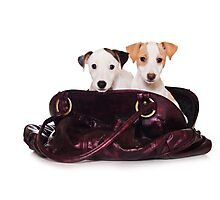 Two Jack Russell terrier puppy in a bag Photographic Print