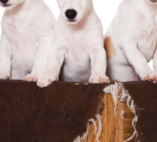 Three Jack Russell Terrier puppy and an old box Sticker