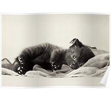 Black fluffy kitten Poster