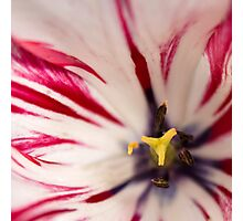 White and pink tulip - square crop Photographic Print