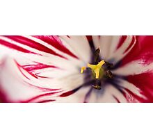 White and pink tulip - panoramic crop Photographic Print