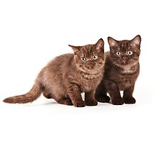 Two brown fluffy kitten Photographic Print