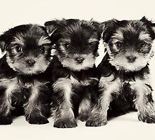 Three Yorkshire terrier puppy by utekhina