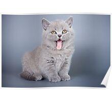 Gray fluffy kitten meows Poster