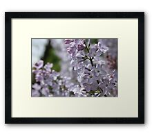Blossoming lilac. A branch of lilac in the garden. May Flowers Framed Print