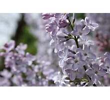 Blossoming lilac. A branch of lilac in the garden. May Flowers Photographic Print