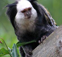 Monkey by DazF