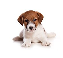 white Jack Russell Terrier puppy Photographic Print