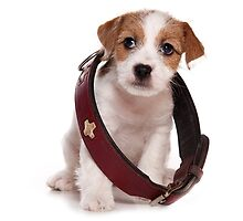 Jack Russell Terrier puppy and a large collar by utekhina