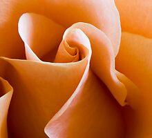 Peach Rose by davidrhscott