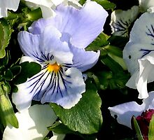 Lt. Blue Pansy by plunder
