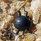 Namib Desert Bettle by Matt Eagles